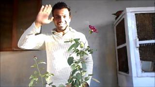 कैसे लगायें गुलाब की कलम गमले में - आपकी फरमाइश -GAMLE MEIN GULAB