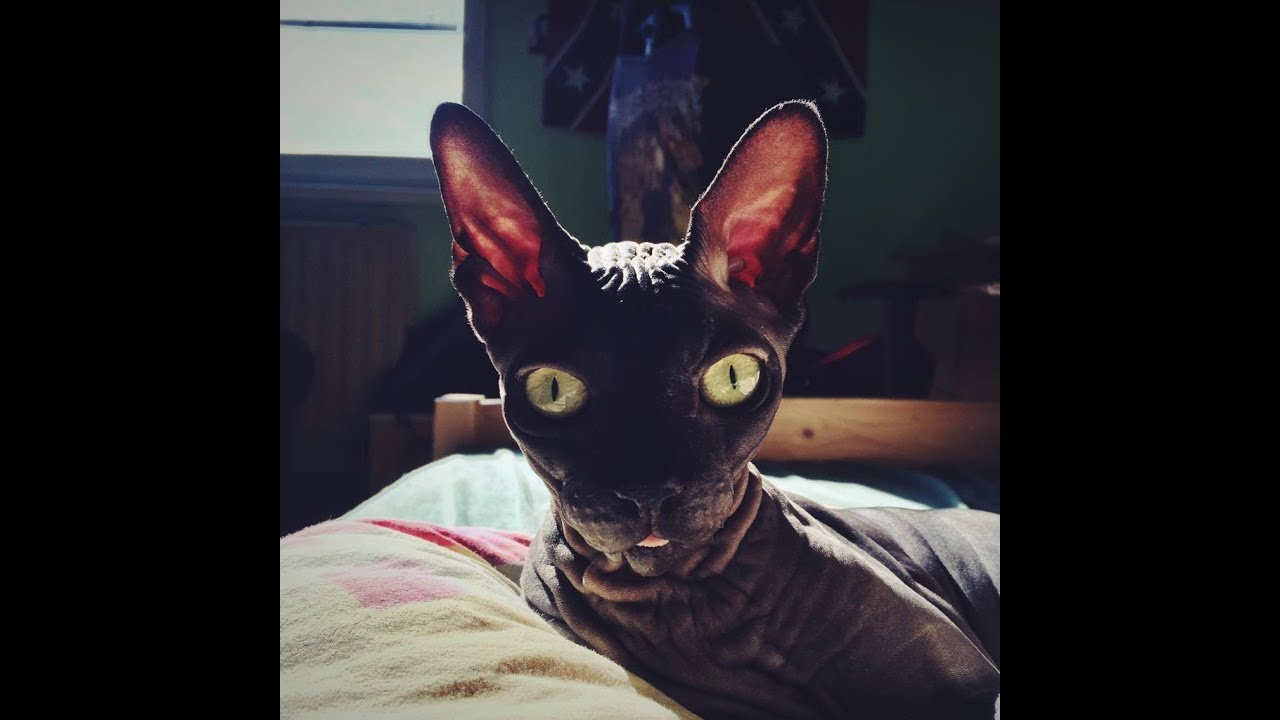 My Sphynx Cat  ♥ Tribute