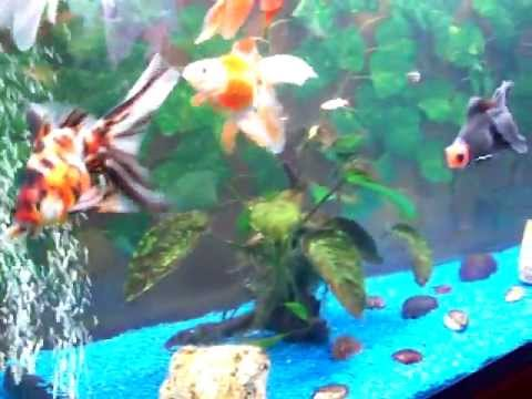 Nos poissons japonais youtube for Carpe koi aquarium 300 litres