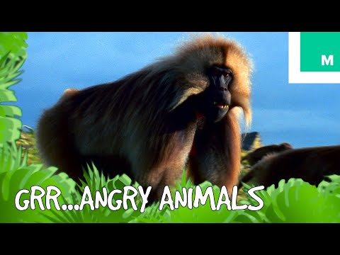 When Animals Get Angry - Talk Like The Animals