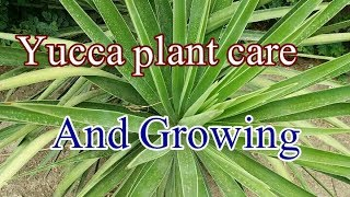 How to yucca plants care and growing tips.thats out door plant