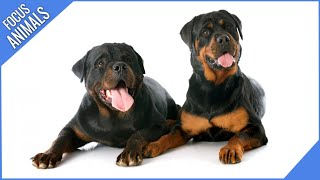 The Rottweiler BREED PROFILE