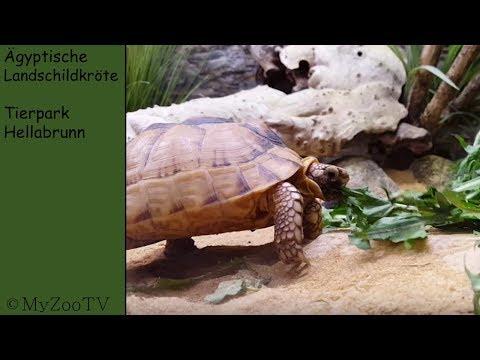 Egyptian tortoise - zoo Hellabrunn