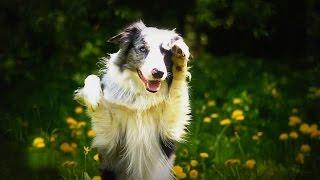 Австралийская овчарка. Породы собак(Трюки.Видео. Этот ролик обработан в Видеоредакторе YouTube (https://www.youtube.com/editor), 2016-02-03T08:57:59.000Z)