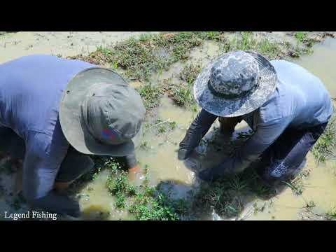 amazing-a-lot-fish-in-rice-field-on-dry-season-|-finding-fish-under-water-dry-season