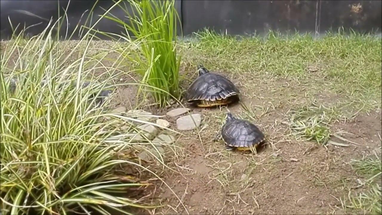 Enclos ext rieur pour tortue de floride youtube - Bassin tortue floride strasbourg ...