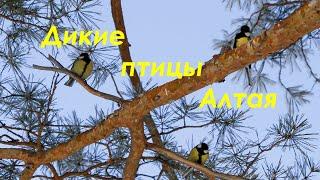 Дикая природа Алтая. Синицы в лесу. Пение птиц.