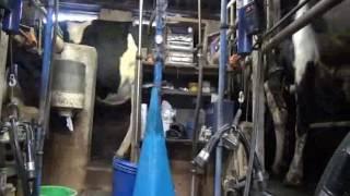 Traites des vaches laitières la ferme de la buscaillère
