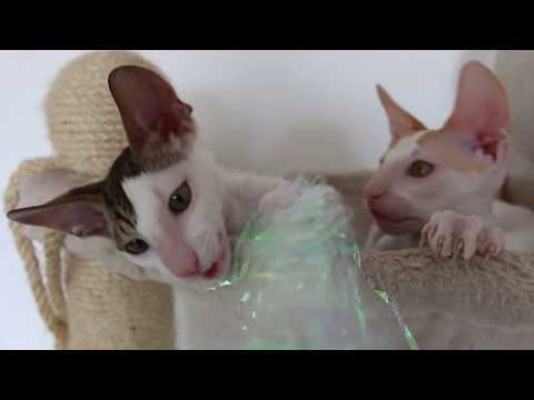 Cutest Cats ever! Cornish rex kittens ! so cute