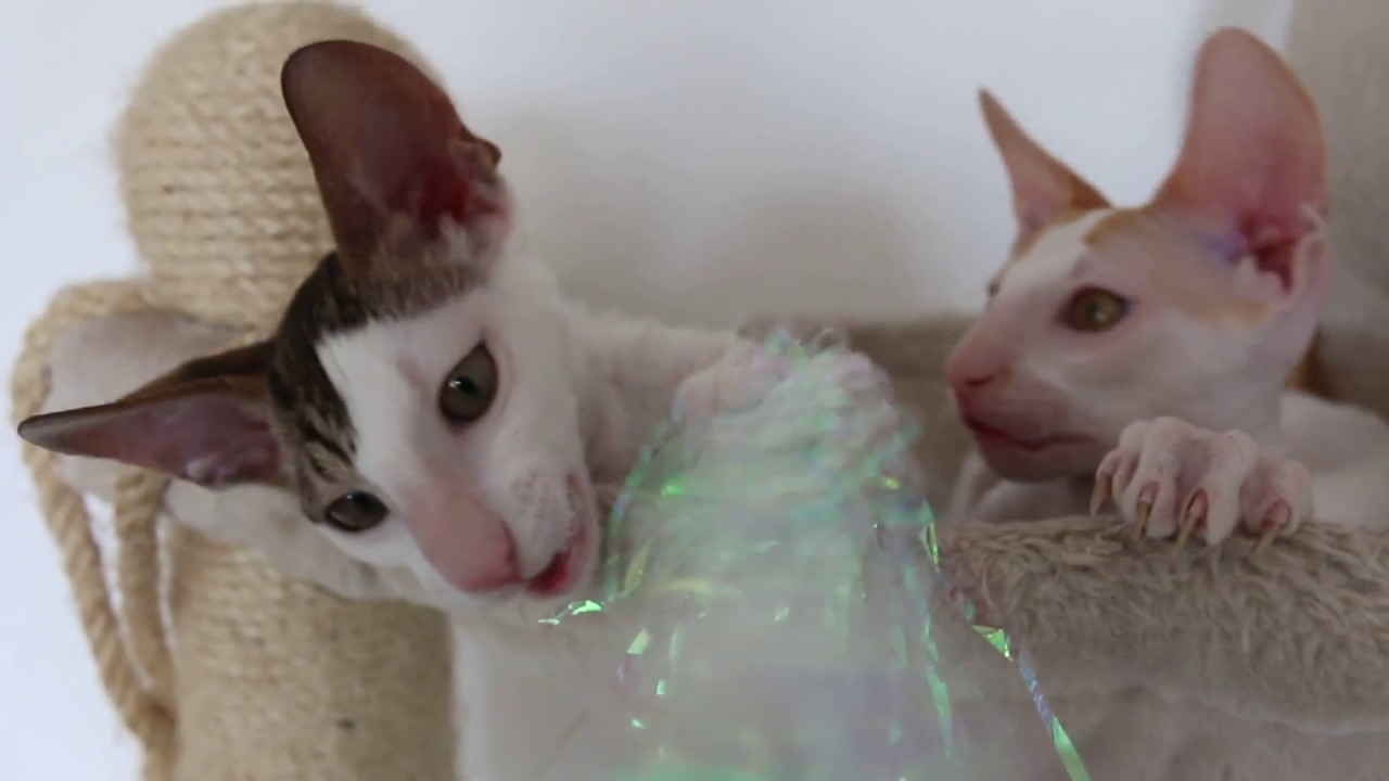 Cornish Rex Kittens For Sale Adoptapet Com