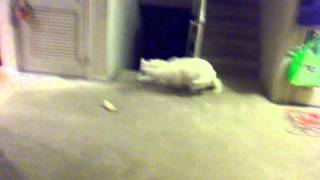 Siberian Husky Late Night Exercise