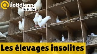 Les élevages insolites - La Quotidienne la suite
