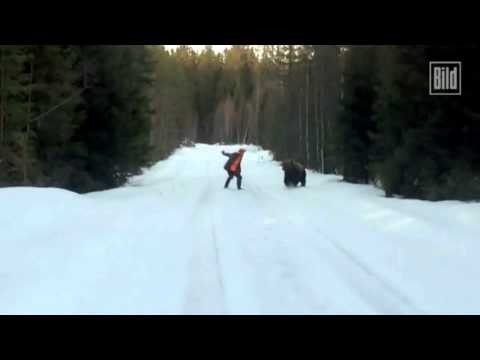 Grizzly (brown bear) charge in Sweden