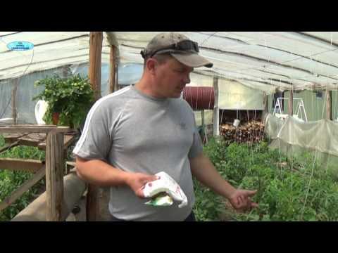 Сорт томата Перцевидный фото, отзывы, описание