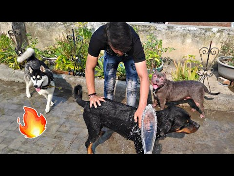 Bath Together💦 #Ambully #Husky #Rottweiler Review reloaded || Dog Bath