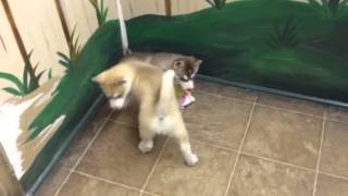 Siberian Husky Puppy Puppies Tampa Puppies For Sale
