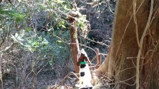 アサ号(11ヶ月・牡)が約30分程追跡した後、タヌキを枯れ木の天辺に...
