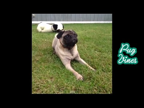 2013 Cute Pug Vines of 2013 Part 2