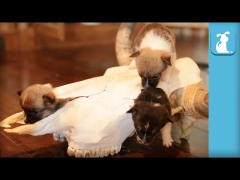 Mini Corgi Puppies Make A Western In A Cow Skull - Puppy Love