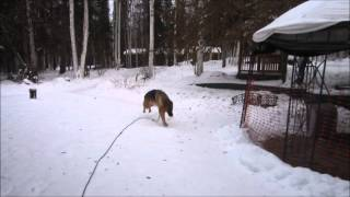 Bruno The Well Trained German Shepherd Puppy 1-12-2015
