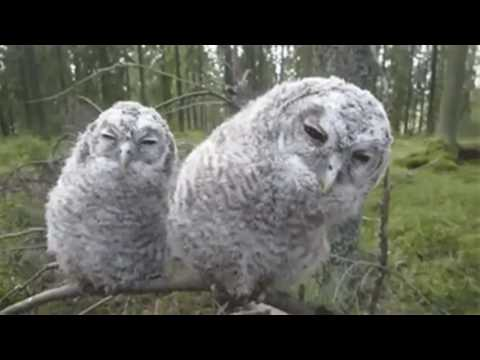 Owls Lullaby