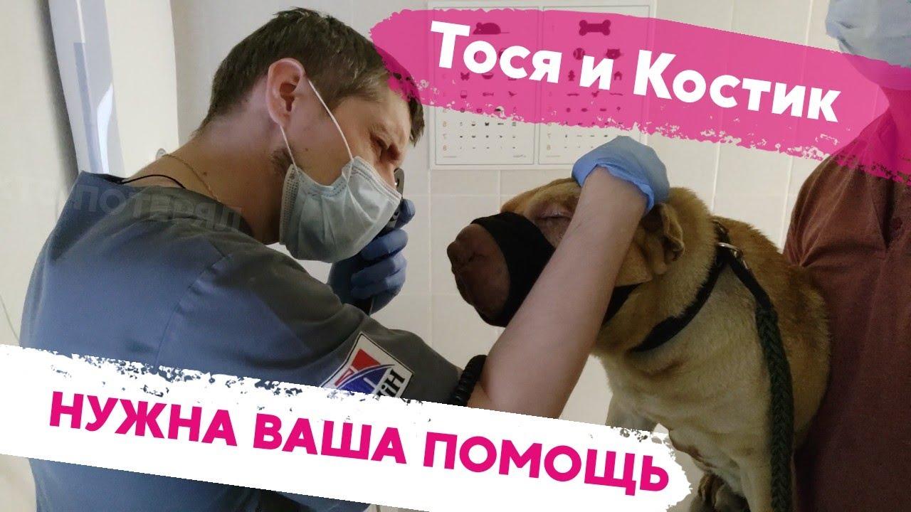 Шарпей Костик почти слепой. Тосе нужно серьезное лечение