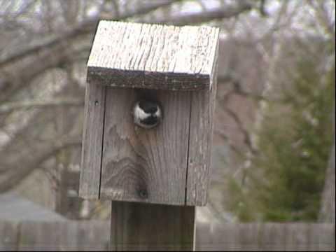 Black Capped Chickadees nesting
