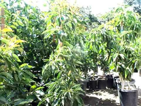 Avocado Little Cado 15gal