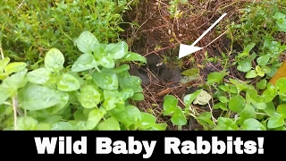 Wild Baby Rabbits in my yard!