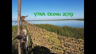 Охота на утку. Первые утки осеннего сезона 2019.