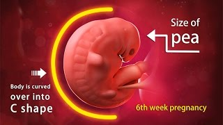 6 Weeks Pregnant: A Complete Guide on Fetal Development thumbnail