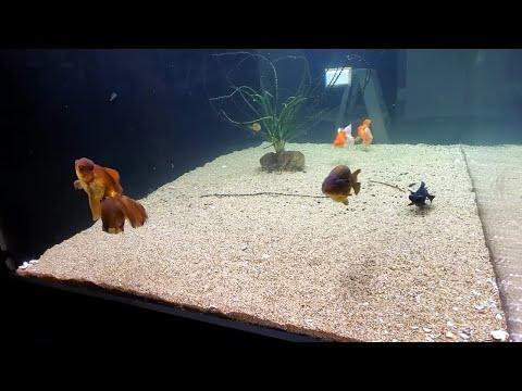 800 Gallon Goldfish Aquarium! [Fish Room Vlog]