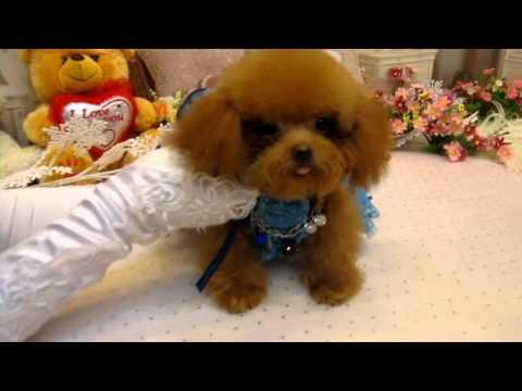 Super Tiny Teacup Poodle #987- Teacup Poodle,Toy Poodles,Tiny Toys,Teacups  Poodle Puppies For Sale