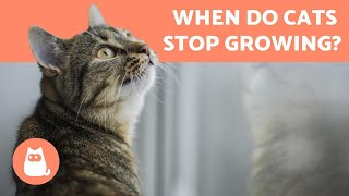 When is a CAT an ADULT and when do they STOP GROWING?