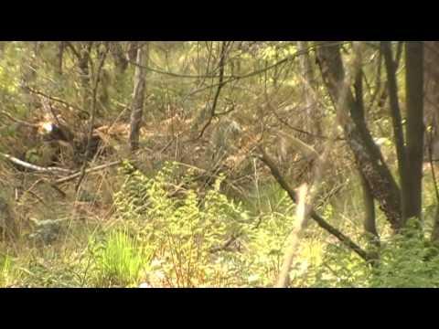 Blackcap Male alarm call - YouTube
