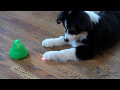 Australian Shepherd Puppy vs Alien Invasion