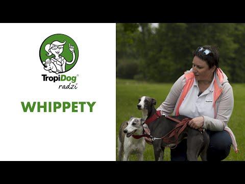 Chart angielski whippet - pies szybki jak błyskawica!