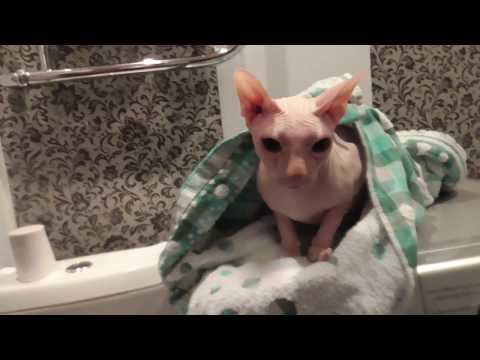 Сфинкс в душе. Лысый кот не любит душ. The cat in the shower.