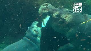 Baby Hippo Fiona and Mom Bibi Playing on a Warm December Day - Cincinnati Zoo