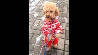 Собака (Пудель) гуляет как человек / Dog (Pudel) walking like a human