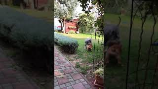 English bulldog and standard schnauzer playing together