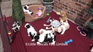 Little Rascals Playful Maltipoo Puppies