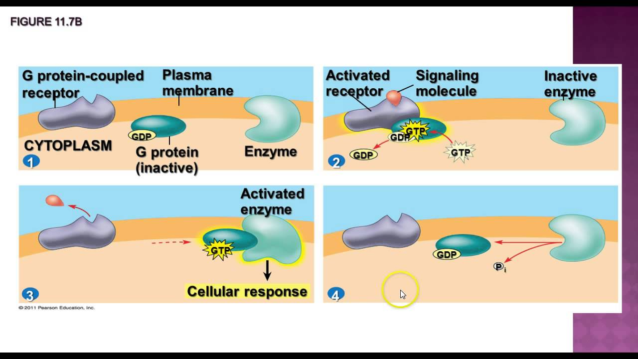 ap biology cell signaling essay Opening essay explain how cloning  pathway triggers a specific response inside a target cell compare the cell-signaling systems of yeast and  ap biology study.