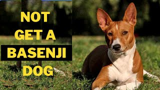 Why you Should Not Get a Basenji Dog (5 Reasons)