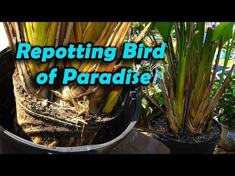 Repotting Bird Of Paradise