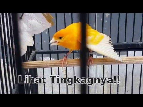 Download Lagu CIRI - CIRI BURUNG KENARI OVER BIRAHI