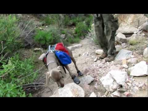 Bella the Weimaraner with her Hiking Boots on
