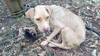 Беременную собаку хозяин отвел в лес, привязал к дереву и ушел
