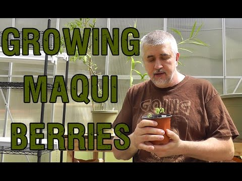 Growing Maqui Berries