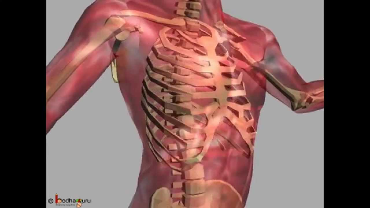 science - human skeleton & different joints movement 3d animation, Skeleton